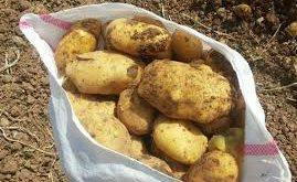 تولید سیب زمینی ارگانیک