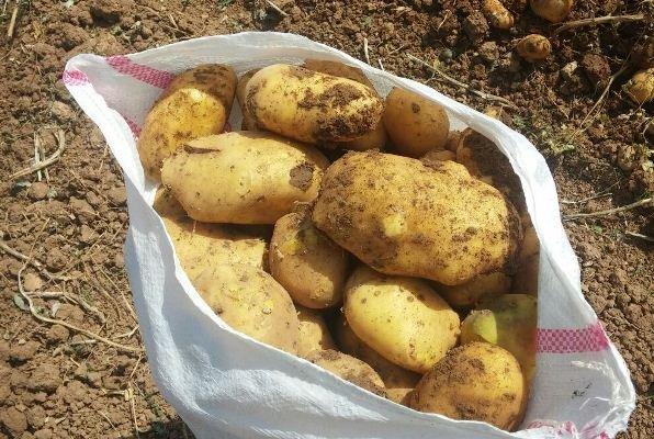 سیب زمینی صادراتی همدان