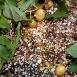سیب زمینی گلخانه ای ارگانیک