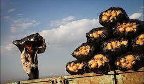 فروش سیب زمینی درجه یک