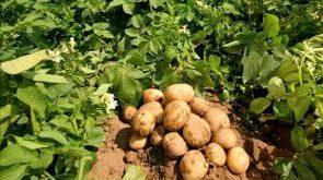 قیمت سیب زمینی صادراتی