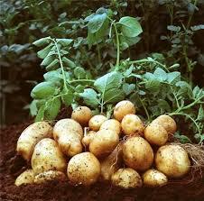 صادرات سیب زمینی آگریا