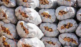 قیمت صادرات سیب زمینی