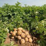 فروش سیب زمینی جیرفت