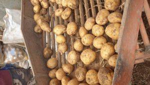 فروش سیب زمینی سورت شده